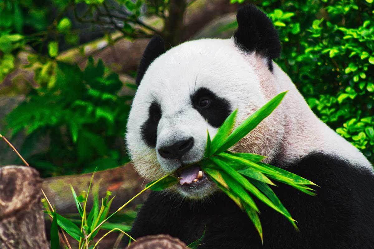 Shows a panda eating sugar cane